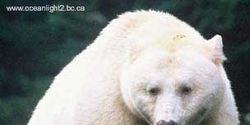 Help save the Spirit Bear of BC,Canada.