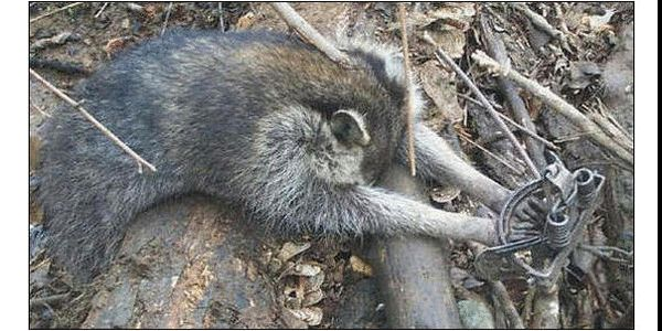 Raccoon victim of leghold trap, photo Change.org