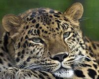 Help The Amur Leopard!