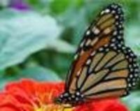 Help Save Monarch Butterflies