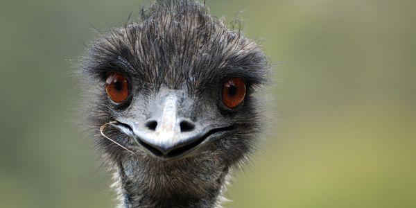 Close up of emu's face
