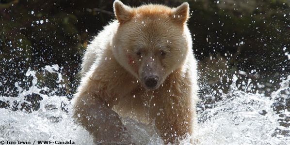 Protect Canada's Great Bear Region — Stop the Northern Gateway Pipeline Project!