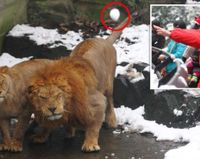 JUSTICE NOW! LIONS IN ZOO PELLETED BY ONLOOKERS