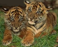 India- Prevent Tigers from being Struck by Trains