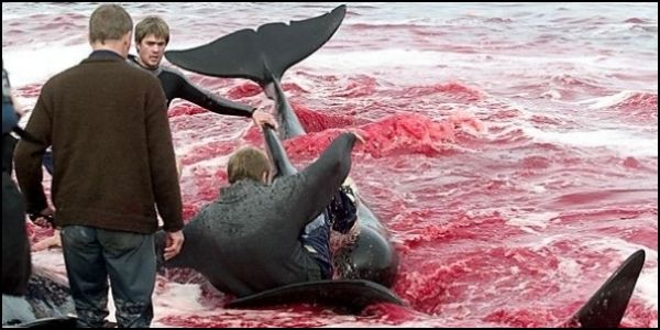 Stop the Barbaric Whale Massacre in Faroe Islands (WARNING- graphic photo)