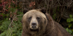 Tell Canadian Government to Lower Grizzly Bear Hunting Quotas