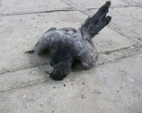 Dead pigeon in HDB neighbourhood