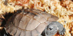 Save the Arakan Forest Turtle