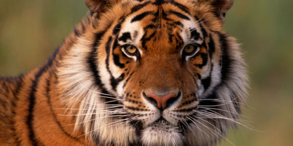 Secretary Jewell - Take Immediate, Concrete Action to Save Tigers and Other Wildlife