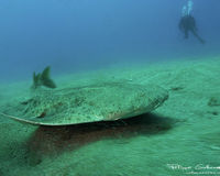 Canary Islands: Don't Let the Angel Shark Disappear