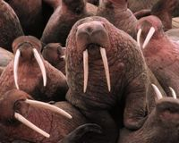 List Pacific Walrus under the Endangered Species Act