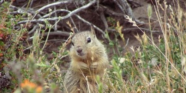 Stop the killing of the California Ground Squirrels and gophers at Cesar Chavez Park, Berkeley