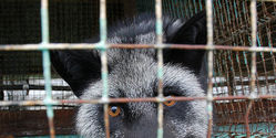 Close Mink and Fox Fur Farms in Norway