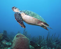 Full Protection for Hawksbill Sea Turtles on the Island of Grenada