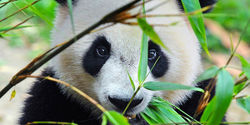 China please don't send your precious giant pandas to that murderous zoo in Copenhagen
