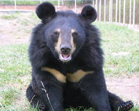 Stop Bear Farming in Asia