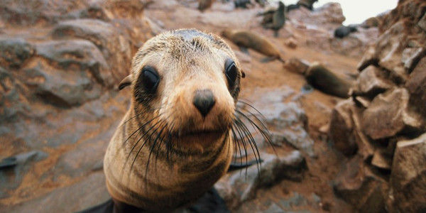 Put An End to Namibian Seal Clubbing!