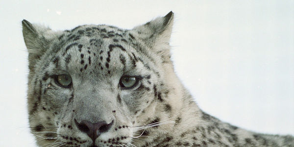 Save the Endangered Snow Leopard from Climate Change Now