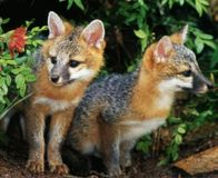 Save the Sierra Red Fox from Extinction