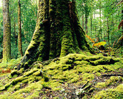 Keep Tasmania's Old Growth Forests Protected - The Petition Site