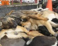 Killing dogs in Chile, a situation allowed by the government.