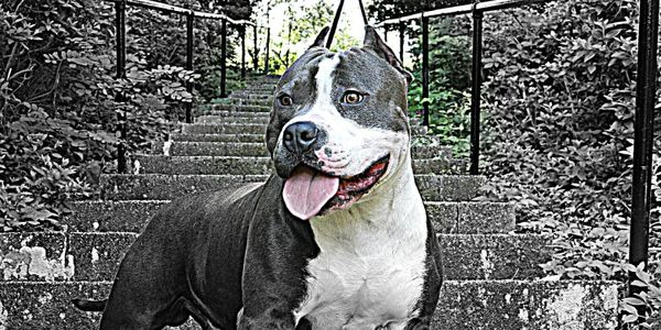Help free Lugnut & the bully dog breed