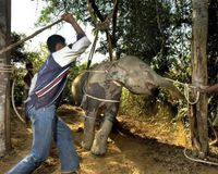 STOP Beaten elephants to drill them for work !!