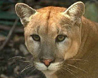 Save Critical Habitat for the Florida Panther