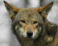 Save the Red Wolf from Extinction