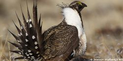 Last Chance: Save the Greater Sage-Grouse