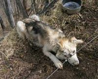 Iditarod - The Worst Case Of Animal Cruelty In The US