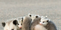 Stop Using Opossums as New Year's Entertainment