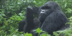 Help us save the mountain gorilla