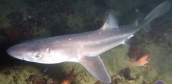 Change Fishing Laws To Ban Cutting Fins Off Of Spiny Dogfish Shark