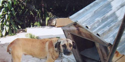 Stop dog chaining in Durban communities