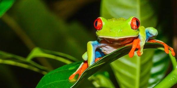 Red-eyed treefrog, Care2