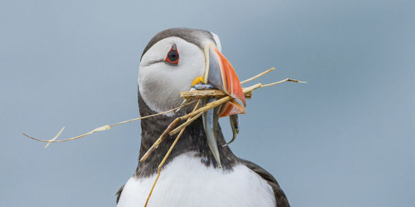 Don't Let Climate Change Threaten the Puffin