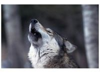 Wolves need you now! please! save them!