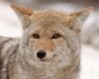 Canada: Make A Plan to Coexist with Coyotes