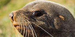 Stop The Slaughter of Baby Cape Fur Seals of Namibia