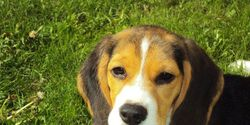 Yorkshire: Say NO to Beagle Research Farm!