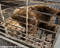 Free Katya the Bear From Her Rusty Cage