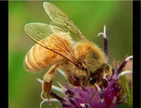 Ban Pesticides Killing Honeybees