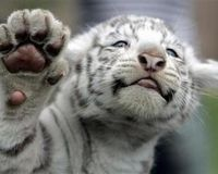 UPDATE 'Russian Government: Link up all existing Siberian Tiger Habitat and protect it.'