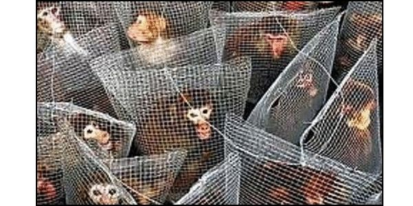Philippine Airlines- Stop Transporting Research Primates to Laboratories