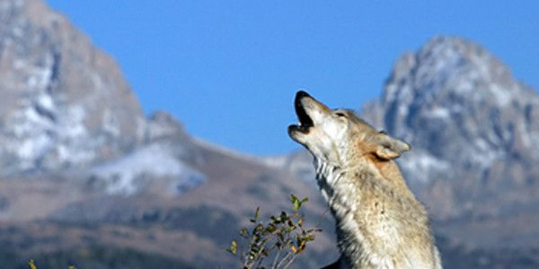 Stop the Outrageous Killing of Idaho's Gray Wolves
