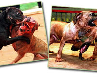 Dog fighting set up