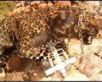 Leopard left to die and rot in Gin-Trap.
