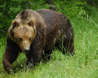 SAVE THE BROWN BEAR
