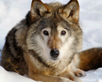 Save Wolves from Wyoming's Shoot-On-Sight Policy